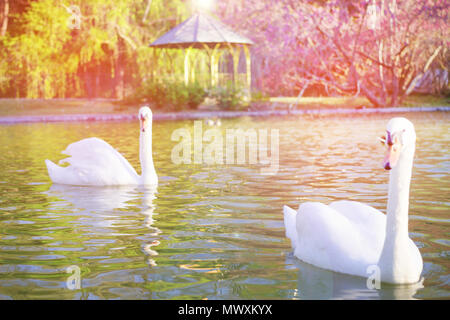 Blurred image concept, Beautiful white swan with sweet color sunset light and beautiful landscape, blurred background at the park in spring. - Stock Photo