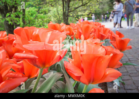 Tulip. Beautiful & colorful bouquet of tulips in nature spring background - Stock Photo