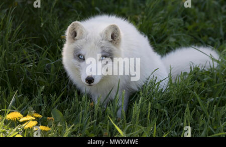 Arctic fox (Vulpes lagopus) in the grass in Canada - Stock Photo