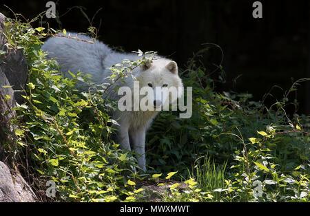 Arctic wolf (Canis lupus arctos) closeup in spring in Canada - Stock Photo
