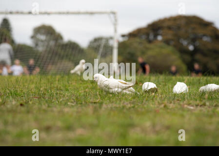 Little Corellas (Cacatua sanguinea) feeding on the seeds in grass while a football game takes place in the background. - Stock Photo