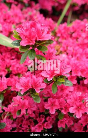 Flowering pink Azalea in the garden - Stock Photo