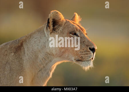Portrait of an African lioness (Panthera leo), Kalahari desert, South Africa - Stock Photo