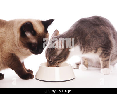 two domestic cats eating from same feeding bowl sharing cat food, studio setting with white background - Stock Photo