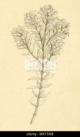 . Español: Westringia rigida en Adolf Engler & Karl Prantl, Die Natürlichen Pflanzenfamilien: nebst ihren , 1887, p. 217 . 1887. Adolf Engler & Karl Prantl 163 Dienatrlichenp43engl 0243 (1)-003 - Stock Photo