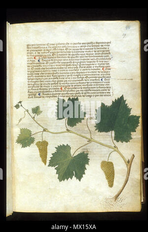 . English: arapion the Younger, Translation of the herbal (The 'Carrara Herbal'), including the Liber agrega, Herbolario volgare; De medicamentis, with index (ff. 263-265) Italy, N. (Padua); between c. 1390 and 1404 . between c. 1390 and 1404. An Italian translation, possibly from a Latin translation, of a treatise orginally written in Arabic by Serapion the Younger (Ibn Sarabi, likely 12th century). 115 Carrara Herbal20 - Stock Photo