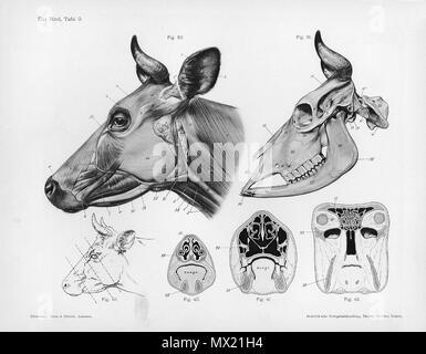 . Animal anatomical engraving from Handbuch der Anatomie der Tiere für Künstler - Hermann Dittrich, illustrator. 1889 and 1911-1925. Wilhelm Ellenberger and Hermann Baum 146 Cow anatomy