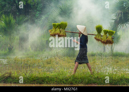 Sakonnakhon, Thailand - July 30, 2016: Farmer carrying dripping rice sprouts from small area farm to replant in rice farm in Sakonnakhon, Thailand - Stock Photo