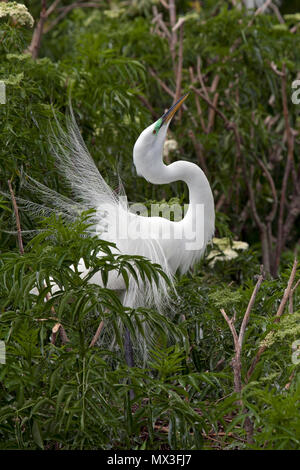 Great egret courtship display - Stock Photo