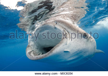 Whale shark (Rhincodon typus) feeding with open mouth, biggest fish of world, Isla Mujeres, Mexico - Stock Photo