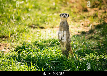 One meerkat on a watch standing in a meadow. - Stock Photo
