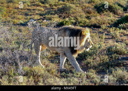 Lions together in the Addo Elephant National Park amongst fynbos, eastern cape, south africa - Stock Photo