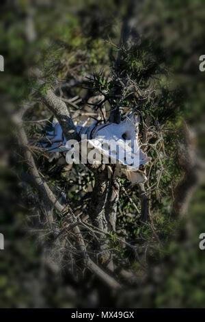 animal skeleton in acacia tree with fynbos, south africa - Stock Photo
