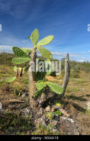 Cactus growing wild in the Addo Elephant National Park, cape, south africa - Stock Photo