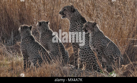 Cheetah mother with 3 cups - Stock Photo