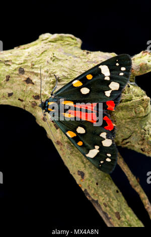 A Scarlet tiger moth, Callimorpha dominula, on a black background that was raised from caterpillars found in the wild and released after being photogr - Stock Photo