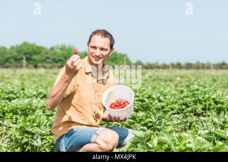 Young happy smiling man picking strawberries in green field rows farm, carrying basket of red berries fruit in spring, summer activity - Stock Photo