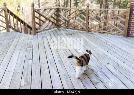 Calico cat walking on empty, large wooden deck exploring on terrace, patio, outdoor garden house on floor Stock Photo