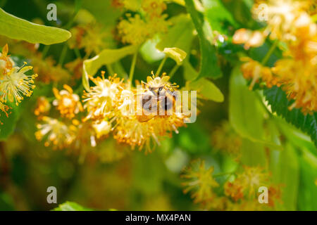 Bumblebee in Linden Flowers, close up of Bumble bee collecting nectar, honey - Stock Photo