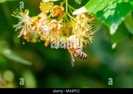 Honey bee in Linden Flowers, Apis Carnica in Linden Flowers, close up of Bumble bee collecting nectar, honey, bee pollinating - Stock Photo