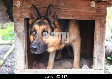 A beautiful German shepherd looks out of his kennel - Stock Photo