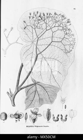 . English: Begonia hispida . 27 October 2011. C.F.P.von Martius & auct. suc. (eds.) 78 Begonia hispida - Stock Photo