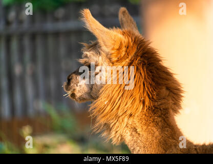 Close-up of the head of a cute brown Suri Alpaca Vicugna pacos with wool - Stock Photo