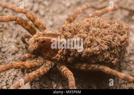 Female Carolina wolf spider (Hogna carolinensis) carrying her offspring on her back. The largest wolf spider in N America and the state spider of SC. - Stock Photo