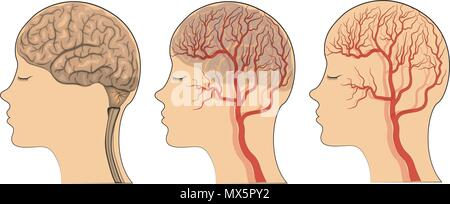 illustration of brain and blood vessels of the head. vector. - Stock Photo
