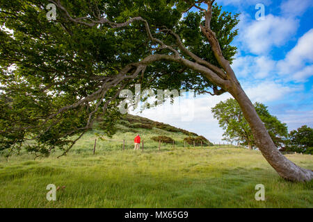 A lone hill walker walking along the Clwydian Way Path from Moel-y-Park in the Clwydian Range framed by wind blown tree in the foreground - Stock Photo