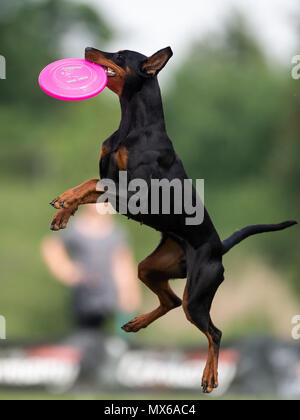 03 May 2018, Germany, Erftstadt: Dog Cagiva catching a frisbee in the disciple 'Freestyle' at the dog frisbee tournament. The participant throws up to seven frisbees that his dog has to catch. The freestyle event is combined to music. Around 60 particpants from 7 countries take part in the event. Photo: Marius Becker/dpa - Stock Photo