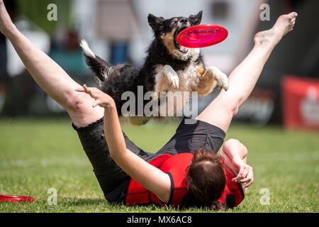 03 May 2018, Germany, Erftstadt: Nadine Averesch and her dog Fanta taking part in the discipline 'freestyle' at the dog frisbee tournament. The participant throws up to seven frisbees that his dog has to catch. The freestyle event is combined to music. Around 60 particpants from 7 countries take part in the event. Photo: Marius Becker/dpa - Stock Photo