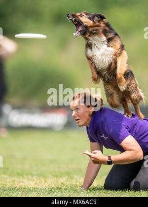 03 May 2018, Germany, Erftstadt: Saskia Boeije and her dog Nando taking part in the discipline 'freestyle' at the dog frisbee tournament. The participant throws up to seven frisbees that his dog has to catch. The freestyle event is combined to music. Around 60 particpants from 7 countries take part in the event. Photo: Marius Becker/dpa - Stock Photo