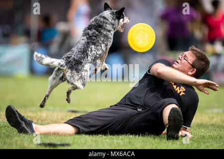 03 May 2018, Germany, Erftstadt: Daniel Koehler and his dog Skeeter taking part in the discipline 'freestyle' at the dog frisbee tournament. The participant throws up to seven frisbees that his dog has to catch. The freestyle event is combined to music. Around 60 particpants from 7 countries take part in the event. Photo: Marius Becker/dpa - Stock Photo