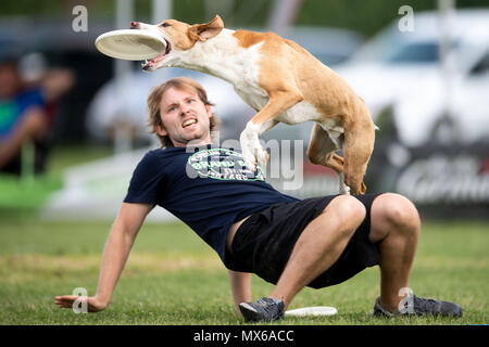 03 May 2018, Germany, Erftstadt: Jens Rettkowski and his dog Sammy taking part in the discipline 'freestyle' at the dog frisbee tournament. The participant throws up to seven frisbees that his dog has to catch. The freestyle event is combined to music. Around 60 particpants from 7 countries take part in the event. Photo: Marius Becker/dpa - Stock Photo