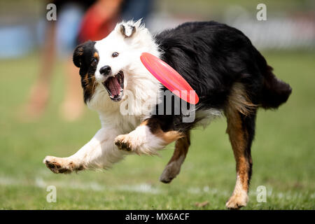 03 May 2018, Germany, Erftstadt: Dog Mogo catching a frisbee in the disciple 'Freestyle' at the dog frisbee tournament. The participant throws up to seven frisbees that his dog has to catch. The freestyle event is combined to music. Around 60 particpants from 7 countries take part in the event. Photo: Marius Becker/dpa - Stock Photo