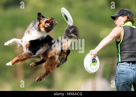 03 May 2018, Germany, Erftstadt: Verena Koening and her dog Sky taking part in the discipline 'freestyle' at the dog frisbee tournament. The participant throws up to seven frisbees that his dog has to catch. The freestyle event is combined to music. Around 60 particpants from 7 countries take part in the event. Photo: Marius Becker/dpa - Stock Photo
