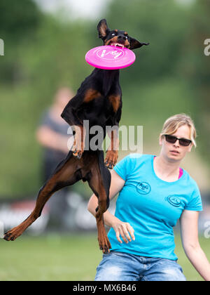 03 May 2018, Germany, Erftstadt: Franziska Wieland and her dog Cagiva taking part in the discipline 'freestyle' at the dog frisbee tournament. The participant throws up to seven frisbees that his dog has to catch. The freestyle event is combined to music. Around 60 particpants from 7 countries take part in the event. Photo: Marius Becker/dpa - Stock Photo