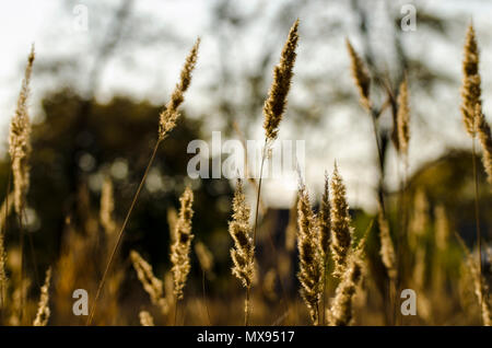 Reeds close-up swinging in the wind in the backlight of sunset. - Stock Photo