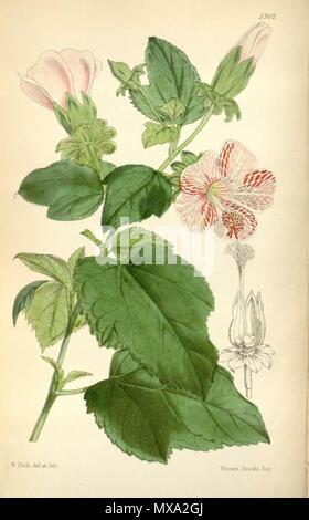. English: Hibiscus lavateroides, as Hibiscus marmoratus . 5 November 2011. W.H. Fitch (1817 - 1892) 278 Hibiscus lavateroides - Stock Photo