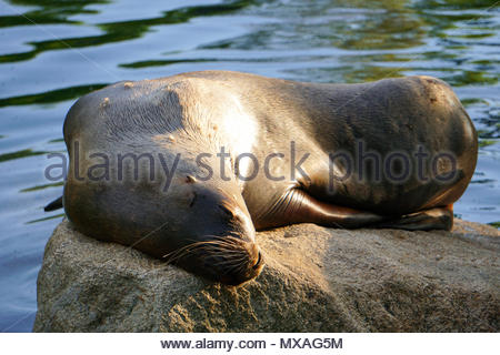 The seal is heating on the sun - Stock Photo