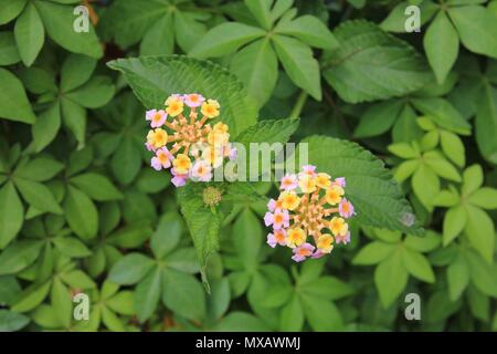 Lantana camara, colorful wildflower growing in Nepal. - Stock Photo