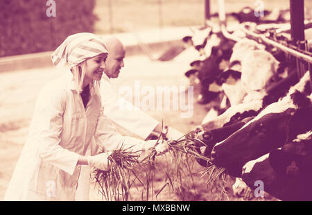Professional vets working with cows in cowhouse outdoors - Stock Photo