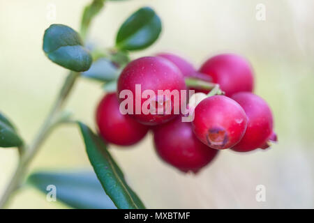 Vaccinium vitis-idaea (lingonberry, partridgeberry, or cowberry) is a short evergreen shrub in the heath family that bears edible fruit, native to bor - Stock Photo