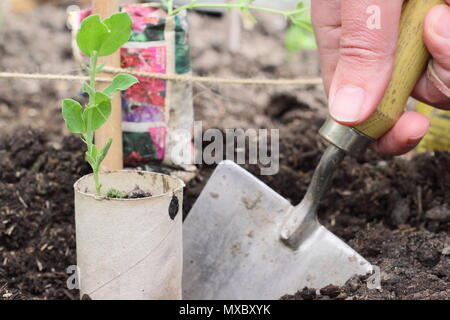 Lathyrus odoratus. Planting young sweet pea plants in recycled paper pots at the base of cane wigwam plant supports, spring, UK - Stock Photo