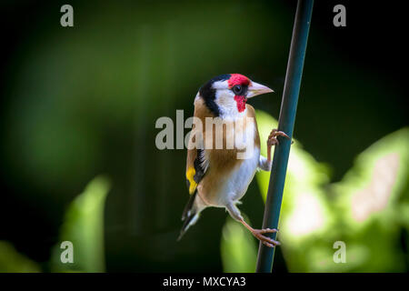 Germany, Goldfinch (Carduelis carduelis).  Deutschland, Stieglitz (Carduelis carduelis). - Stock Photo