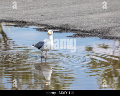 seagull standing in a water puddle at havens beach, sag harbor, NY - Stock Photo