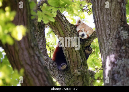 Cute Red Panda, Ailurus fulgens, sleep in a tree. This tree dwelling creature is an endangered species and is indigenous to the eastern Himalayas and  - Stock Photo