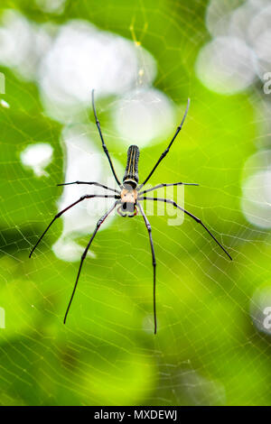 The Giant golden orb weaver - Stock Photo
