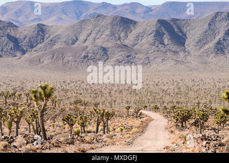 Joshua trees line the 50 miles of dirt road into Saline Valley in Death Valley National Park, California, USA. - Stock Photo
